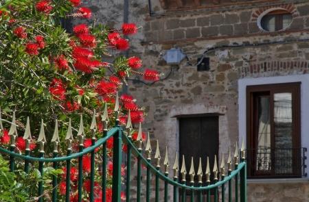 Bottle brush tree - Callistemon rigidus - and iron fence in Italian garden