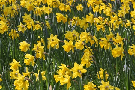 Hi-res Field of Daffodils