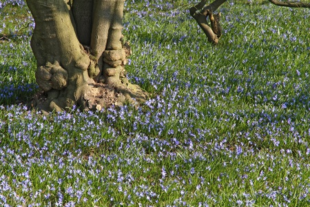 Field of Siberian Squills - Scilla siberica - and gnarled trunk