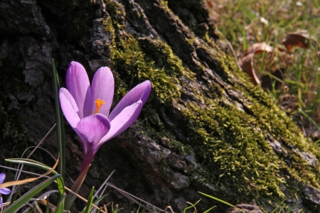 Purple Crocus flower at the foot of a mossy trunk