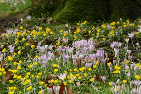 Purple Crocus flowers and yellow Winter Aconite at the foot of a mossy trunk Stock Photo