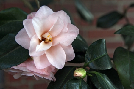 Flowers and bud of pink Japanese camellia - Camellia japonica - with brick background Stock Photo