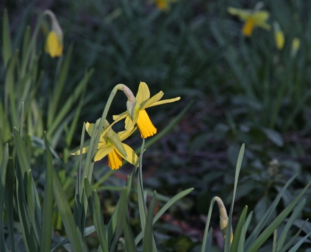 Daffodils in evening sun with shadowy background