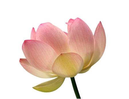 Lotus flower isolated - Nelumbo nucifera  Stock Photo