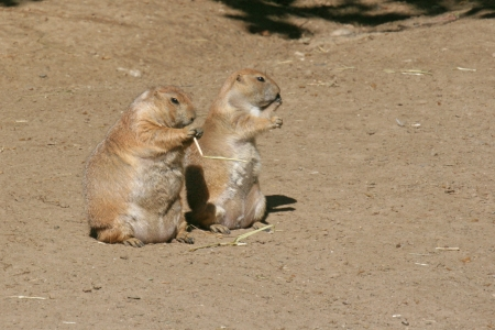 Fat and Slim Prairie Dogs - Cynomys ludovicianus - Black-tailed prairie dog
