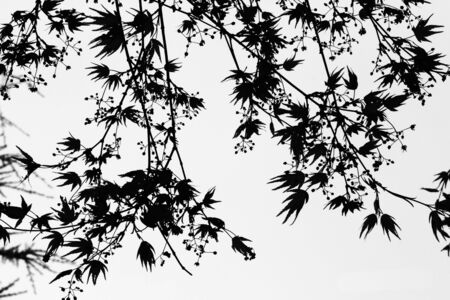 Black and White Abstract Pattern of Maple Twigs, flowers, and young Leaves in spring