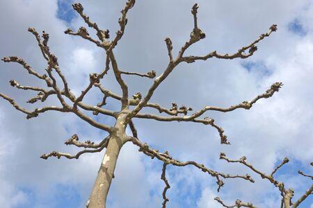 London plane trees (Platanus acerifolia) in