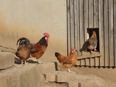 Rural Scene with happy chickens. Cock and hens, one hen just entering henhouse. Stock Photo