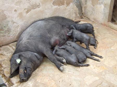 Black Iberian pigs: Sow with Suckling Piglets (Cerdo negro, Porc Negre)
