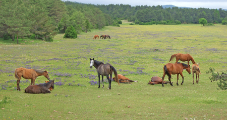Group of horses at flowering pasture. Pic was taken at the high plateau of Causse Noir in Southern France near the famous Outdoor Leisure Park of Chaos de Montpellier-le-Vieux. Stock Photo