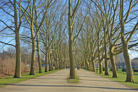 Double pedestrian alley of plane trees (sycamores, Platanus) in Cologne, Germany in early spring. This walk is part of the so called inner green belt that surrounds the city of Cologne. The shown part traverses Cologne University campus and passes the mai Stock Photo