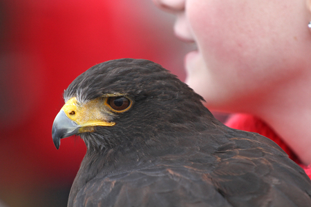 Portrait of Harris hawk (Parabuteo unicinctus), also known as bay-winged hawk or dusky hawk. Blurred red background with part of a girl's face. Harris hawk is an American species and popular in falconry.