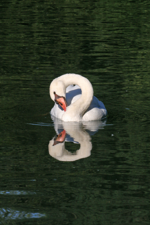 Swan with genuine reflection