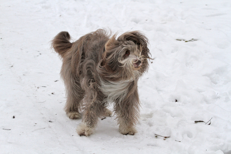 Bearded Collie Shaking in Snow