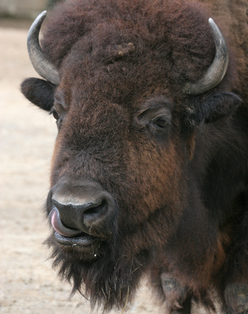 nostril: American Bison (Bison bison) licking its nostril Stock Photo