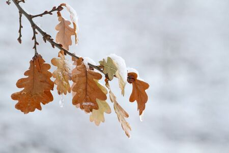 Brown oak leaves on the twig covered in melting snow. Buds of next year's foliage clearly visible.