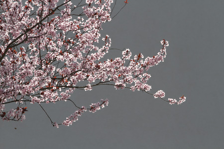 Sunlit Pink cherry blossoms with Grey Wall background