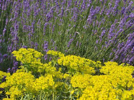 Garden detail - lemon green Euphorbia and purple lavender     Stock Photo