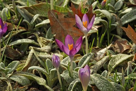 Purple Crocus flowers breaking through herbs and fallen leaves