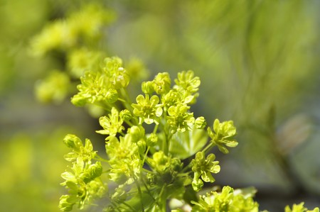 Spring Norway Maple Flowers in Stockholm, Sweden Stock Photo