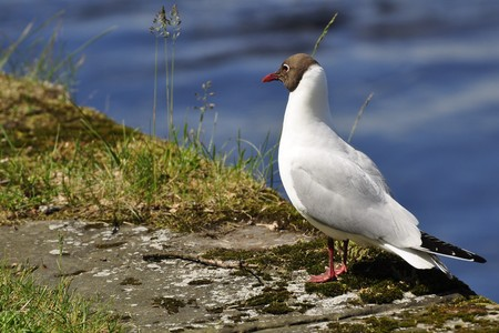 karlstad: Laughing Gull at the Lake in Karlstad in Sweden Stock Photo