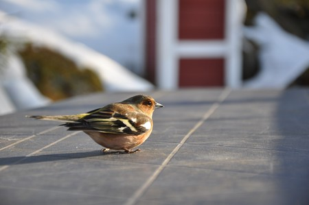 This little chaffinch was recovering on a cabin table in Strandvik, Sweden. Half an hour earlier it had hit a window and was a bit dizzy. Stock Photo
