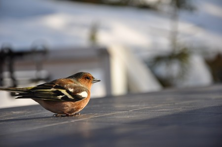 karlstad: This little chaffinch was recovering on a cabin table in Strandvik, Sweden. Half an hour earlier it had hit a window and was a bit dizzy. Stock Photo