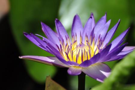 Flor de loto en un parque en tono  Foto de archivo