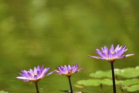 Three lotus flowers in a park in Hue
