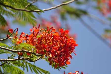Beautiful red tree flowers in Hue Vietnam