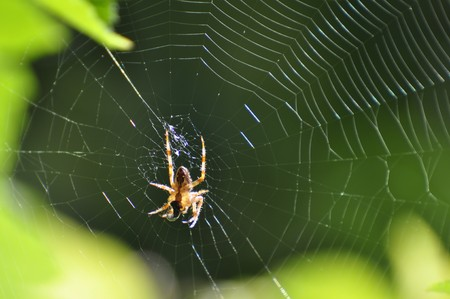 A successful spider has caught an insect in its web at a garden in Karlstad, Sweden Stock Photo - 8139815