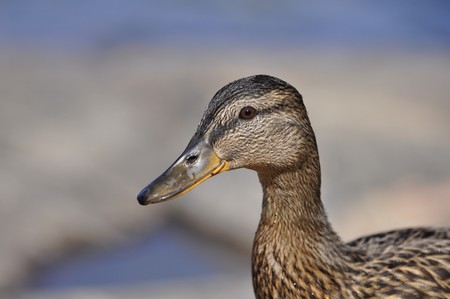 Drops of water on the face of a female Mallard Stock Photo