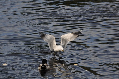 Common Gull (Larus Canus) in hunt for food on the River Klarälven in Karlstad, Sweden