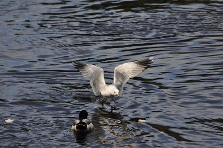 karlstad: Common Gull (Larus Canus) in hunt for food on the River Klarälven in Karlstad, Sweden Stock Photo