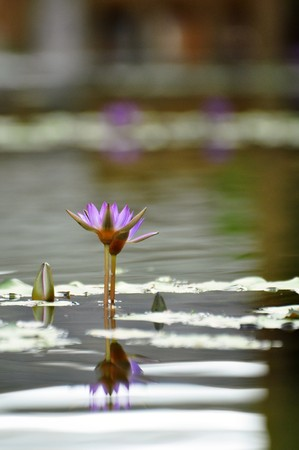 Purple lotus flower in a park in Hue, Vietnam