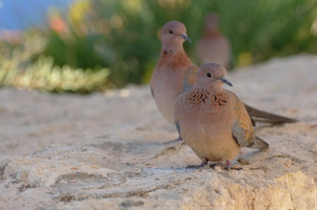 Egyptian pigeons at the beach in Sharm El Sheikh
