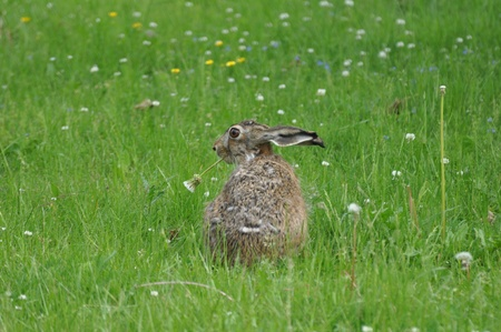 karlstad: A Rabbit chewing a flower at the side of the parking lot