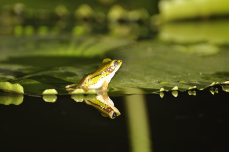 Green Paddy Frog turned away from camera while sitting on a waterlily with reflection in the water at Chaweng, Koh Samui, Thailand photo