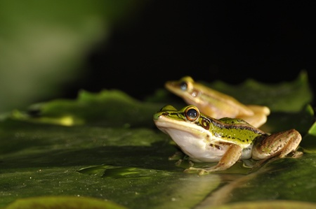 Green Paddy Frog pair sitting on a waterlily leaf at Chaweng, Koh Samui, Thailand