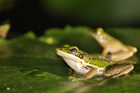 Two Green Paddy Frogs sitting on a waterlily leaf at Chaweng, Koh Samui, Thailand