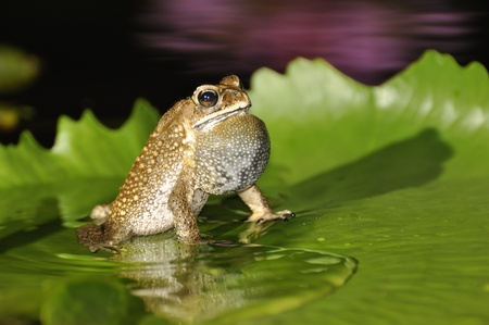 Black Spined Toad singing with a purple waterlily reflection as background at a resort in Chaweng, Koh Samui, Thailand Stock Photo