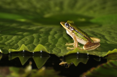Green Paddy Frog with a glimpse of a mirror shape in the water at Chaweng, Koh Samui, Thailand Stock Photo
