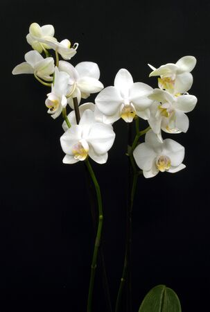 orchids: White Orchids on black background