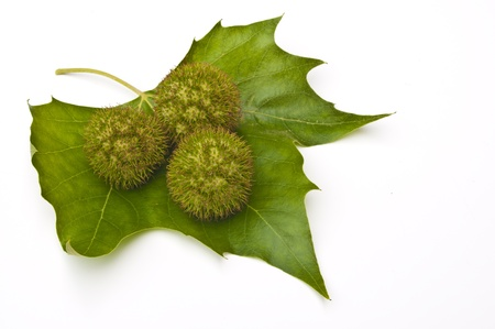 conkers: Three chestnuts (conkers) on a leaf with a white background