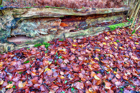 Old fallen rotting tree in forest