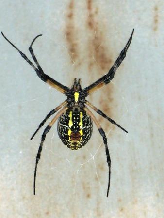 Schuur Spider op het web