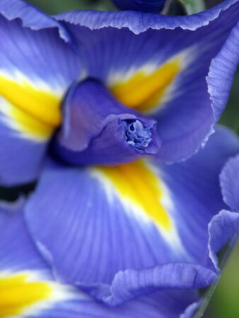 Close-up of purple Iris flower with focus on its center and pedal edges