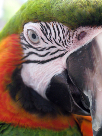 Close-up of an adult parrot with one eye and his beak showing along with his markings Stok Fotoğraf
