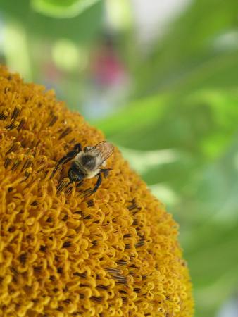 それに蜂とヒマワリのセンター