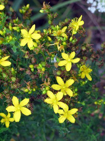 夏に黄色の野生の花